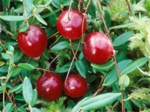Лікувальні властивості журавлини