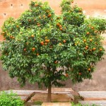 Як виростити апельсинове дерево