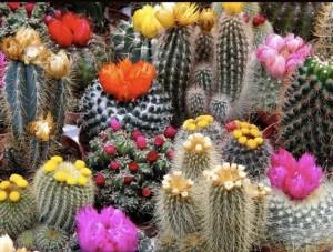 Догляд за кактусами