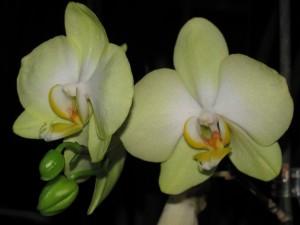 Орхідеї - догляд